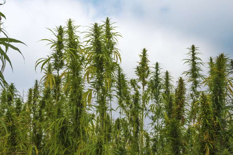 Would-Be Pot Thieves Accidentally Steal Pile Of Hemp